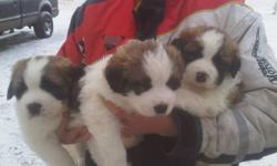 Great Pyrenees,St Bernard cross pups for sale,2 females and 1 male.The father is Pyrenees,mother is the St Bernard.