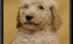 We have a litter of beautiful standard poodle puppies.  There are 3 females and 4 males.  These puppies have amazing temperaments.  They will be small size standards.  Pup #5 Chocolate Male has already been sold. Available we have: Pup #1 Lt.