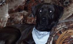 Beautiful lab mix intact male looking for an excellent home only.    He is three years old and very friendly.  Excellent around children and other animals.    He is very active outside and loves playing fetch, yet he is very calm and quiet inside.  He