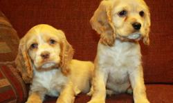 Absolutely GORGEOUS cocker spaniel puppies are now available! These are registered purebreds, paperwork provided. We have handsome males as well as beautiful females now available. We have a new litter born on October 9, they are now ready to go. Colours