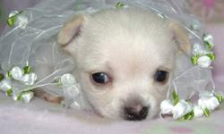 STAR'S CHIHUAHUA'S  WE ARE SO EXCITED ABOUT THE WONDERFUL NEW PUPPIES WE HAVE FOR ADOPTION.IF YOUR LOOKING FOR A TOP QUALITY REGISTERED CHIHUAHUA YOU HAVE FOUND THEM. I HAVE SEVERAL RARE COLOURS AND MARKING TO PICK FROM. THERE ARE BOTH LONG AND SHORT HAIR
