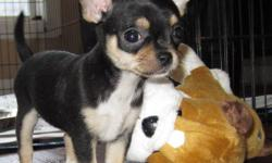 All Photos taken Jan 15/12! If you are looking for a Tiny Chihuahua of distinction...You have found it! Proudly announcing 2 litters of stunning Chihuahua's. We have 2 litters to choose from. Both long hair and short hair available. The parents are  very