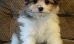 Super sweet Pom Poo puppies now available (Pomeranian x toy poodle)! There is now only 1 of these little sweethearts left - the adorable sable/white male. Mom is a toy poodle, dad is a Pomeranian. They are expected to mature 8-10lbs or smaller; they are