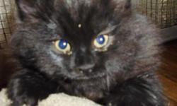 Magnifiques chatons Persans noirs a vendre.( 2 femalle) Tres jolis, tres joyeux et tres colleux. Ils mangent de la nourriture seche et utilisent la littiere Faite vite! Ils n'attendent que vous!!! $100 ch. Contactez svp (514) 744-0343(English) (514)
