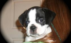 Our sweet baby girls are 3/4 Boston Terrier 1/4 Puggle.  They come pre-spoiled, well socialized with other animals and children and are vet checked with first shots and deworming. Mom and Dad are very quiet, well socialized loving members of their human