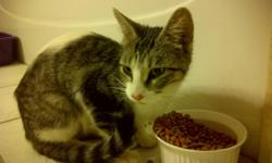 Beautiful temperament cat, approx 1 1/2 yrs old. She was a drop off on our farm outside of Amherstburg. REALLY affectionate, purrs the second you walk in the room. Has been getting along with our cats, but not the dogs, so needs a dog free home. We have