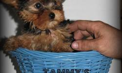 1 male Yorkshire Terrier puppy available for $700 if adopted by this weekend.   Hope to have a couple new pictures up by tomorrow of this little fluff ball   All my puppies that are adopted are: Vet checked with Vet Record Receive 1st Vaccination Dewormed