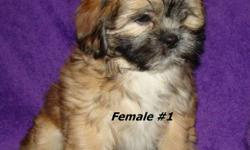 These big fluff balls are absolutely adorable puppies with lots of playful energy and plenty of kisses to give. They will mature to about 12-15 lbs. Puppies are well socialized with other dogs and children. Pee pad trained! Shih Tzu (Dad) and a Shihpoo