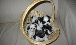 Hi! These puppies are now 8 weeks old and ready to go! 2 are black and white, 1 will be grey and white. these pure bred puppies are so affectionate and sweet and cute! please call lee at 905-781-9251