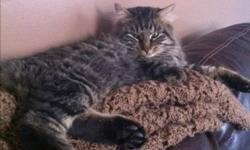 Dizzle is a one year old male cat, he is very laid back, likes to lounge around in the day and go out throughout the night. This ad was posted with the Kijiji Classifieds app.