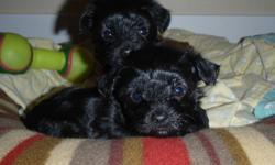 TEA-CUP YORKIE -POO . One tiny black and white female left.. Mom is PUREBRED TEA-CUP YORKIE (4-5 lbs.) and dad is miniature POODLE (6-7 lbs.) . HYPO ALLERGENIC AND NON SHEDDING. vet checked, first shots and de- wormed. This little girl is very smart,