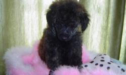 1 little baby boy puppy left, he is very unique and very special, mom weighs 3.8lbs and daddy weighs 3.7 lbs  The perfect Gift for you and your family, they want to be loved and cuddled. For more family history please call 204 523-4776 and leave