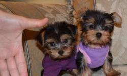 We currently have a litter of 4 Yorkies. They are receiving their 1st shots and seeing the vet on Jan 4th and ready to leave us Jan 13th. Prices start at $950-$1500 (Depending on size) Our prices are firm and we do not negotiate, Sorry :( Our puppies are
