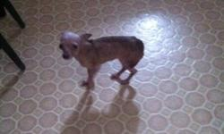 she's is a small chihuahua tan and some white very tiny quiet pee pad trained cannot keep her anymore This ad was posted with the Kijiji Classifieds app.