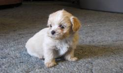 WOW!!  Malshi Puppies...   So cute, adorable and playful Teacup Maltese Shih Tzu Puppies...Malshies...   They were born on Dec 21/2011 and will be ready for their new homes on Feb 15/2012...   Our puppies are well socialized and they are raised in our