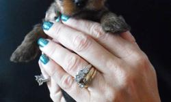 Teacup size yorkie pups ready to go to their new home for Novemeber 22! Parents on site, mother (4 1/2lbs- forth picture ) father (3 lbs-last picture). Now taking deposits. Males available!!! (1st pic- med, 2nd- smallest, 3rd- largest) First needles and