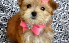 @@ 647-838-6762 @@ MALE AND FEMALE MORKIES (MALTESE X YORKIE) VET CHECKED, DEWORMED, VACCINATED NON SHEDDING AND HYPOALLERGENIC (BLACK/TAN, ALL BLACK, ALL WHITE, ALL TAN) TOY SIZE $700-$800 TINY TOY $800-$1000 TEACUP $1500 PUPS SIZES RANGE FROM 3.5-9LBS.