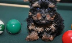 Teacup and Tiny Toy Yorkie Puppies This is a gorgeous litter of Yorkie's emulating spectacular colours and baby faces. They are socialized to the MAX. They just want to sit in your lap and play with anyone all day long. My Yorkie puppies are all