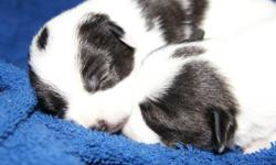 I have for sale two very tiny Foxillon ( Smooth Fox Terrier x Papillon ) Puppies for sale. Mom is a very tiny 5lb tri colored Papillon and Dad is a 8lb, black and white smooth fox terrier. Both parents are very healthy and well adjusted with great