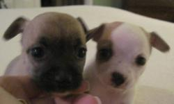 HURRY HURRY HURRY WE HAVE ONLY A FEW VERY TINY REGISTERED CHIHUAHUA PUPPIES FOR ADOPTION. IT YOUR LOOKING FOR A VERY TINY TOPE QUALITY PUP PLEASE CONTACT ME ASAP YOU WILL NOT BE DISAPOINTED!!!  THE LAST PUP WHITE AND TAN IS READY IN TIME FOR