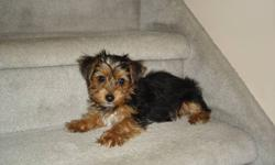 1 male Yorkshire Terrier puppy for sale (unregistered).  Born Sept. 7/11, the litter was 3 boys, 1 girl -- the girl and 2 boys are sold.  Mom is 7.5 lbs and Dad is 3.5 lbs, this little guy (full of pees & vinegar) should be around 5-7 lbs.  Ready to go as