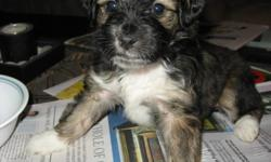 1 beautiful female terrier cross puppy.She is one of a litter of 8, and the only one left.The mother is a lahsa apso terrier and the father is a bearded collie terrier cross. This beautiful puppy is ready to find its forever home. Both mom and dad are
