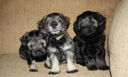 Your puppies are waiting for you.  These are the cutest puppies EVER!   Watch a 2 short video of the 3 pups.  Just copy and paste the following:   at 5 weeks:    http://www.youtube.com/watch?v=DuxyYgxLqTE&feature=youtu.be   at 6 1/2 weeks: