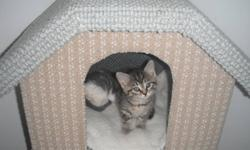 These very playful kittens are litter trained eat hard and soft food and very loving and playful they are looking for a forever home they are good with children and other pets. they are looking for someone to take them home.