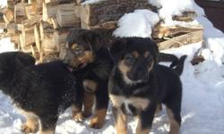 Puppies love to be outside in the snow - Mom is a reliable German Shepherd - very good with kids - Daddy is a big and beautiful Bernese Mountain Dog (a big teddy bear) Puppies are ready to go! Please phone for an appointment to see them (and take them