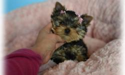 We have placed this little boy however we are expecting two litters this month  we are now taking deposits to reserve your baby from these litters   Please check out our website so you can see our yorkies, sire is Tator Tot mom is Channel