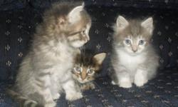 I have three gorgeous male kittens free to great homes and ready to go ASAP! :) Their brother and sister have already found homes, however these three are still waiting on their new families. One is a dark striped kitten and the other two are the grey