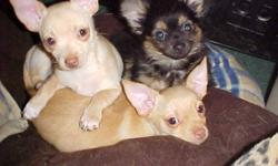 Three male chihuahua puppy's.Two short hair and one long hair chihuahua puppy's,pure bred dear head chihuahuas.Parents on site.They have had their shots,de-wormed and vet checked and also pee-pad trained.Two of the puppy's are tan in color the other puppy