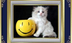 Three Handsome Ragdoll Boys are looking for forever homes   These boys have bright blue eyes  that will melt your heart. They are very loving and playful.   All kittens go to their forever homes with 2 sets of vaccinations, dewormed, vet checked,  1 year