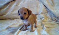Hello, I currently have a litter of chiweenie puppies!With just the one girl left! The mother(6lbs) is a long haired chihuahua and a daushound and the father(5lbs) is a pure breed chihuahua.I have both here to view. They are currently 8weeks old. They
