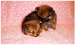 These little fluff balls are now ready to go! each puppy has a wonderful personality that are NOT yappy and absolutely LOVES TO CUDDLE! Hard to find black and black parti colors in the litter and they are tiny too. All of the pups are pee-pee and poo-poo