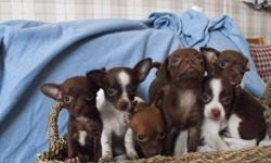 We have 6 little tiny Chihuahua puppies available. The Chihuahua is the smallest breed of dog, they are excellent lap dogs, love affection and are very loyal to their owners.  Our Chihuahuas are raised with kids and love cats even they are much larger