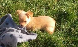 I have 3 tiny full bread chihuahua puppies for sale 2 female and 1 male they have been vet checked, dewormed and have there first set of needles mother is 4 lbs and father is 4.5 lbs both on site. They are going to be small dogs so i would prefer not to