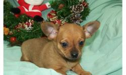 Very tiny Chiweenie puppy 3/4 Chihuahua and 1/4 Mini Dachshund. One female available. Will stay very small matuiring to 5-6 lbs and 6 inches tall. Would be great for people that have limited living spaces. Very friendly puppy, will be wonderful addition