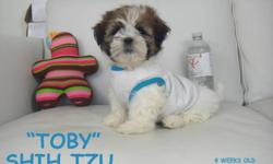 SHIH TZU PUPPIES 1 BOY (TOBY)   We have a litter of shih tzu puppies ready to go! Shih tzus are a small breed, mostly light brown, dark brown, and white. They are very easy to train (intelligent) and don't shed (hypoallergenic). They are very social and