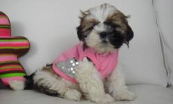 SHIH TZU PUPPIES ONLY 1 GIRL LEFT !!   We have a litter of shih tzu puppies ready to go December 14. Shih tzus are a small breed, mostly light brown, dark brown, and white. They are very easy to train (intelligent) and don't shed (hypoallergenic). They