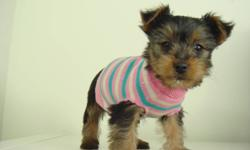 TOY SIZE YORKSHIRE TERRIER PUPPIES 1 Boy & 2 Girls We have a beautiful litter of black and tan toy-size Yorkies. We estimate that they will mature to be around 5/6 lbs. They stay small, and won't shed. Yorkshire Terries are condisered to be