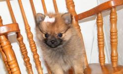 this tiny girl is ready for a forever home, she has had her first shots and vet check. shes a blk mask orange sable, weighing in at 1.8 pounds. very friendly raised around kids loves attention. mom is 4 pound cream pomeranian and dad is a 4 pound red
