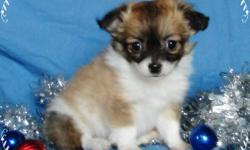 Teacup and Toy Sized Pups to Choose From!!!   These pups are TINY the pictures make them appear much bigger then they are because they are zoomed in the 2 teacup sized pups are under 2lbs now!!!!   These Cute Little Fur Balls are waiting to meet their new