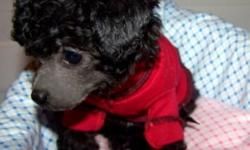 We have female teacup poodle available just in time for the holidays. She has darling tiny features and is such a sweet and gentle puppy.  Pictures do not do her justice.   She was born all black with white sock markings and a tiny little white marking