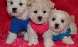 @@@ 647-838-6762 @@@ *** READY TO GO OCT 28th *** MALE AND FEMALE MALTESE X VET CHECKED, DE-WORMED, VACCINATED NON SHEDDING AND HYPOALLERGENIC, FULL FLUFFY COATS. WILL MATURE TO BE 6-10LBS, DIFFERENT SIZES TO CHOOSE FROM. PRICES RANGE FROM $650-$750 ALL