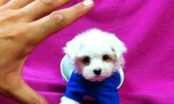 @@@ 647-838-6762 @@@ -- READY TO GO DEC 1st -- 2 MALES AND 2 FEMALES VET CHECKED, DE-WORMED AND VACCINATED. MALTESE ARE NON SHEDDING AND HYPOALLERGENIC. PURE WHITE TOP QUALITY COATS. PRICES RANGE FROM $950-$1100 PRICES ARE FIXED AND NON NEGOTIABLE. WELL