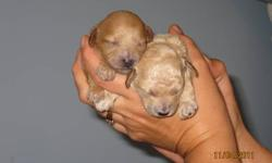 Pure bred Toy Poodle puppies, no papers.  Mom is a 3 1/2lbs red pure bred toy poodle and dad is a 7 1/2lbs brown pure bred toy poodle.  These puppies are very tiny and will only mature to about 4-5lbs.  The tails are docked and dewclaws removed.  They
