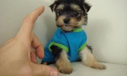 MORKIE   1 GIRL LEFT !! SEE PHOTOS (TAKEN NOV 30)   We have very fluffy and friendly Morkie puppies ready to go! There are 2 girls that will be ready to go Nov 30. We estimate that they will mature to be around 5-6 lbs (2.5 kg) when fully grown. Their