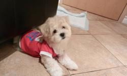 Toy Maltese puppy- white female for sale all vac is uptodate+ dewormed+ with cage worth $90.00+Shirts+toys+Misc She is 4 lbs and will be max to 7-8 lbs NONSHEDDING_HYPOALLERGENIC PUPPIES WELL SOCIALIZE, EXCELLENT COMPANION WITH KIDS AND ADULTS, PLAYFUL