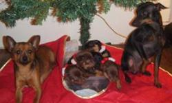 Ready now 2 Girls & 3 Boys. I have 3 chocalate & 2 Black, They will have the Pincher's look to then. Tails are docked Home raised puppy pad training started and going very well for they age. Looking for there Forever home. Dad in Toy Pincher at 11 inch
